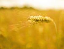 пшеница поля dof отмелая Стоковые Фото
