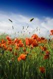 пшеница поля popy Стоковое Фото