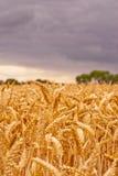 Пшеница под бурным небом Стоковое фото RF