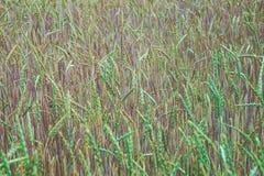 пшеница поля зеленая Стоковые Изображения