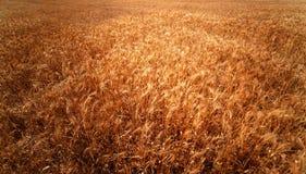пшеница поля золотистая Конец пшеничного поля луга вверх Богатый сбор Co Стоковые Фотографии RF