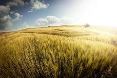 пшеница поля золотистая стоковая фотография