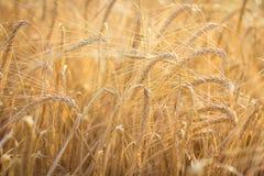 пшеница поля золотистая Стоковое фото RF