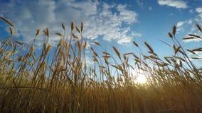 пшеница поля золотистая сток-видео
