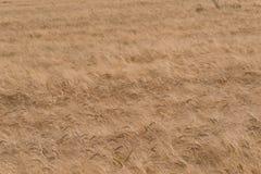 пшеница поля золотистая Стоковое Фото