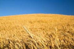 пшеница поля золотистая Стоковые Фотографии RF