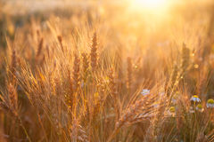 Пшеница поля зрея на заходе солнца Концепция богатого сбора Стоковые Изображения