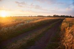 Пшеница поля зрея на заходе солнца Концепция богатого сбора Стоковое фото RF