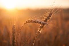 Пшеница поля зрея на заходе солнца Концепция богатого сбора Стоковая Фотография