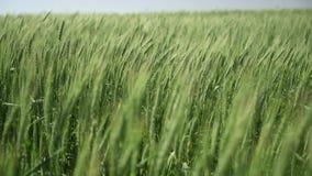 пшеница поля крупного плана золотистая wheaten сток-видео