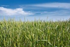 пшеница поля дня солнечная Стоковое Изображение