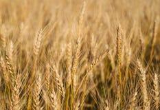 пшеница поля солнечная Ландшафт Rurual Стоковое Изображение