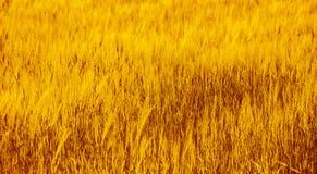 пшеница поля ушей детали предпосылки Стоковое Изображение