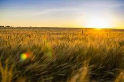 пшеница поля ушей предпосылки фон зрея ушей желтого цвета Стоковое Фото