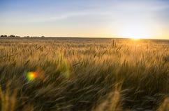 пшеница поля ушей предпосылки фон зрея ушей желтого цвета Стоковые Фото