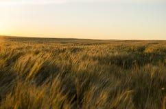 пшеница поля ушей предпосылки фон зрея ушей желтого цвета Стоковые Изображения