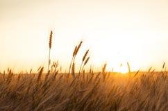 пшеница поля ушей предпосылки фон зрея ушей желтого цвета Стоковое Изображение