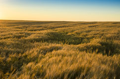 пшеница поля ушей предпосылки фон зрея ушей желтого цвета Стоковое фото RF
