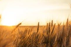 пшеница поля ушей предпосылки фон зрея ушей желтого цвета Стоковая Фотография
