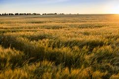 пшеница поля ушей предпосылки фон зрея ушей желтого цвета Стоковое Изображение RF