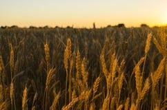 пшеница поля ушей предпосылки фон зрея ушей желтого цвета Стоковые Фотографии RF