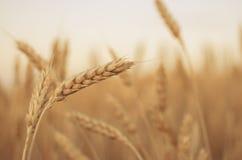 пшеница поля ушей предпосылки фон зрея ушей желтого цвета Стоковая Фотография RF