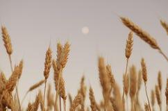 пшеница поля ушей предпосылки фон зрея ушей желтого цвета Стоковые Изображения RF
