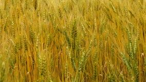 пшеница поля ушей предпосылки видеоматериал
