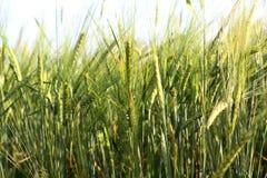 пшеница поля ячменя золотистая хлопья Стоковая Фотография RF