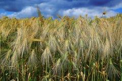 пшеница поля ячменя золотистая Стоковые Фотографии RF