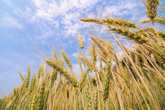 пшеница поля ячменя золотистая Стоковая Фотография