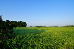 пшеница поля ячменя золотистая стоковая фотография rf