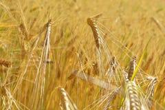 пшеница поля ячменя золотистая Стоковое Изображение