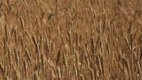 пшеница поля сток-видео