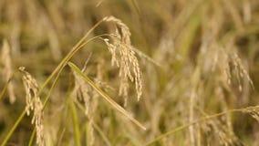 пшеница поля видеоматериал