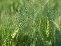 пшеница предпосылки Стоковое Фото