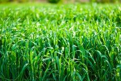 Пшеница пусканная ростии зеленым цветом Стоковая Фотография RF