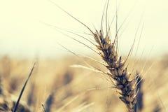 Пшеница пшеница поля крупного плана золотистая wheaten фото тонизировало Стоковая Фотография RF