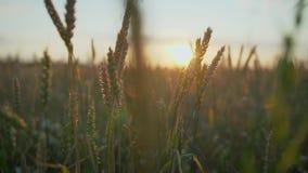 Пшеница растет на заходе солнца Молодые саженцы пшеницы растя в поле Зеленая пшеница растя в почве Закройте вверх на рож пускать  видеоматериал
