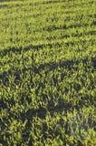 Пшеница растя в поле Стоковая Фотография