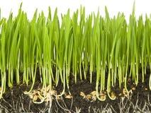 пшеница роста стоковая фотография