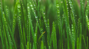 Пшеница ростка, здоровый образ жизни Вырастите биологические семена пшеницы стоковое изображение rf