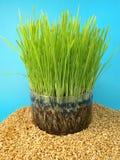 пшеница ростков семян Стоковое Изображение