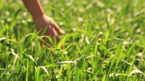 Пшеница руки зеленая видеоматериал