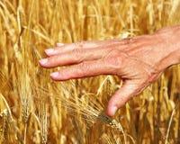 Пшеница руки касающая золотистая Стоковые Фото