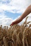 пшеница руки поля Стоковая Фотография