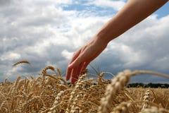пшеница руки поля Стоковое Изображение
