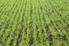 пшеница семенозачатка Стоковое фото RF
