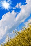 пшеница солнца Стоковое фото RF