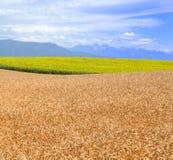 пшеница солнцецветов Стоковая Фотография RF
